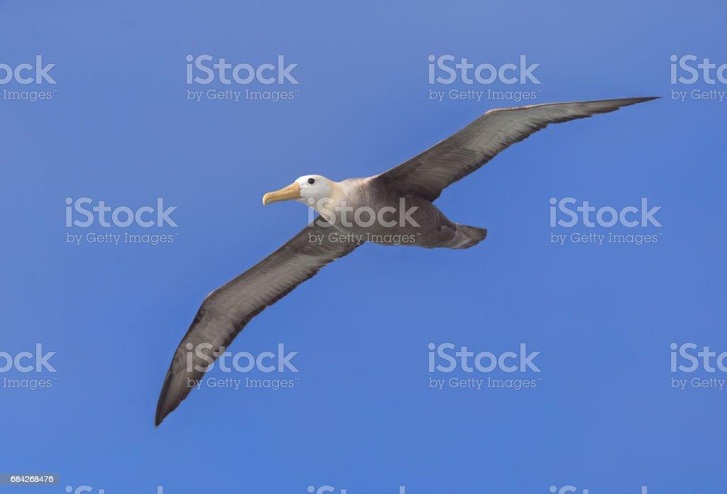 Albatros ondulado - foto de stock