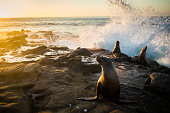 Waves Crashing Behind the Unsuspecting Sea Lions