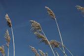 istock Waving Reed Plumes 489426711