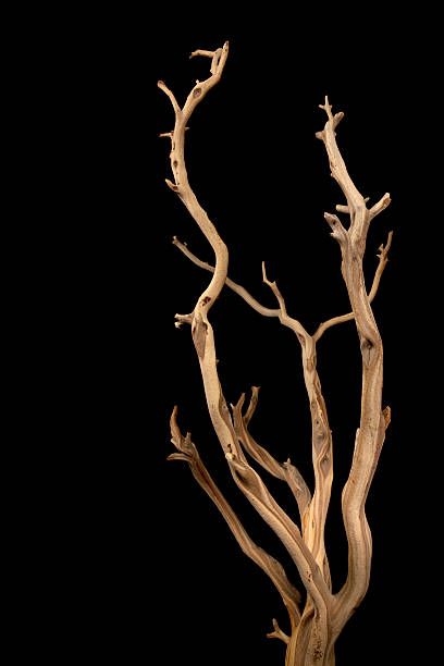 wavy branches with no leaves isolated on a black background - branch plant part stock pictures, royalty-free photos & images