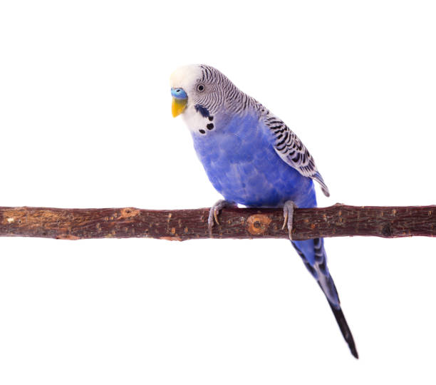 Wavy parrot blue color isolated on white background budgerigars picture id868362954?b=1&k=6&m=868362954&s=612x612&w=0&h=hqqr3wir1 42dbjkdrfmuomzt6q9j2w datwnai4flw=