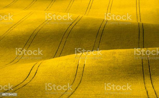 Wavy yellow rapeseed field with stripes corduroy summer rural in picture id682194420?b=1&k=6&m=682194420&s=612x612&h=ceyq43zvw1qyer1yeqbrywx6dbonrf4hr6z6 m3mtco=