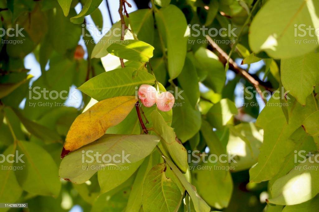 Wax Apple On Tree Stock Photo - Download Image Now - iStock
