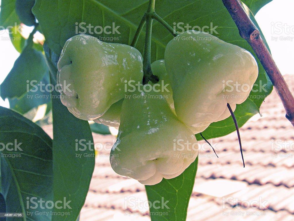 Wax Jambu, Water Apple, Syzygium javanicum stock photo
