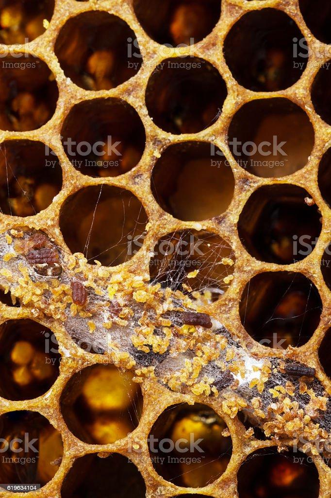 Wax moth larva damage close up stock photo