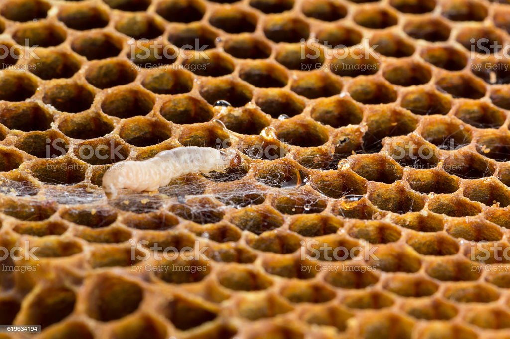 Wax moth larvae and webs stock photo
