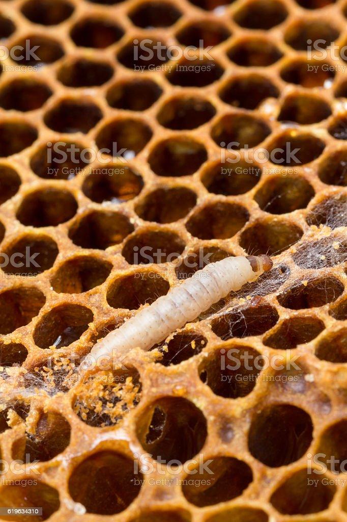 Wax moth larvae on brood comb stock photo