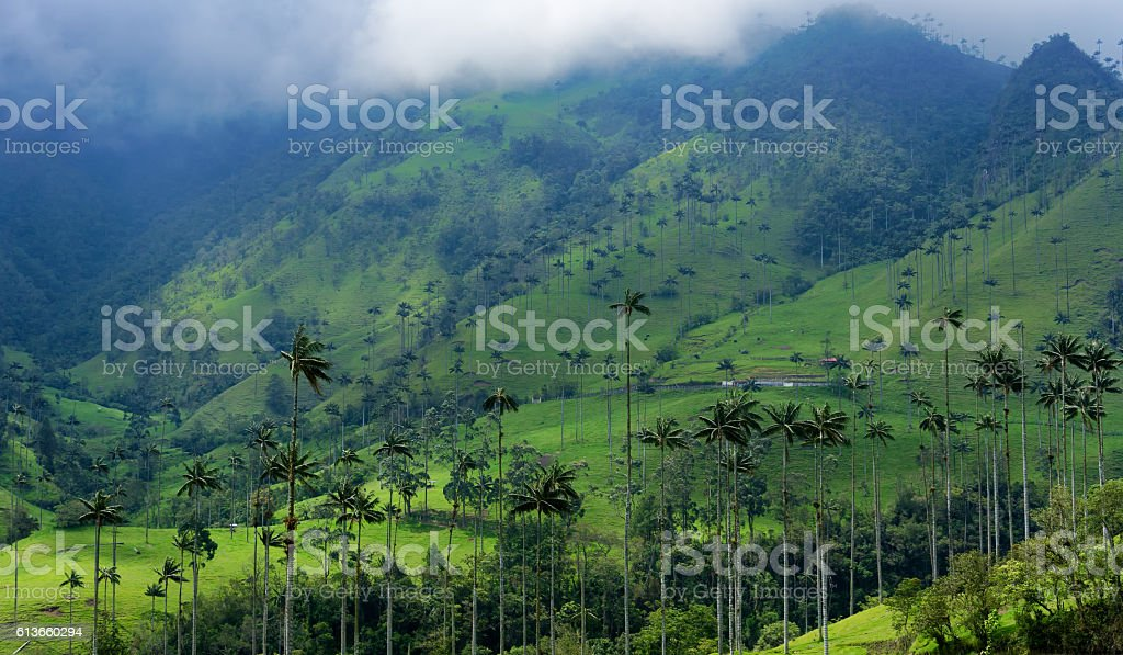 Wax Palm Covered Hills stock photo