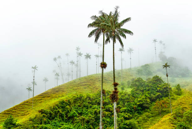 Wax Palm Trees, Cocora Valley, Colombia Wax Palm Trees (Ceroxylon quindiuense), the highest in the world, in the mist of the Cocora Valley near Salento and Armenia, Colombia. This type of tree also appears in Ecuador and Northern Peru. armenia country stock pictures, royalty-free photos & images