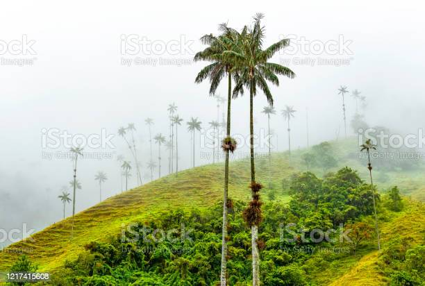 Photo of Wax Palm Trees, Cocora Valley, Colombia