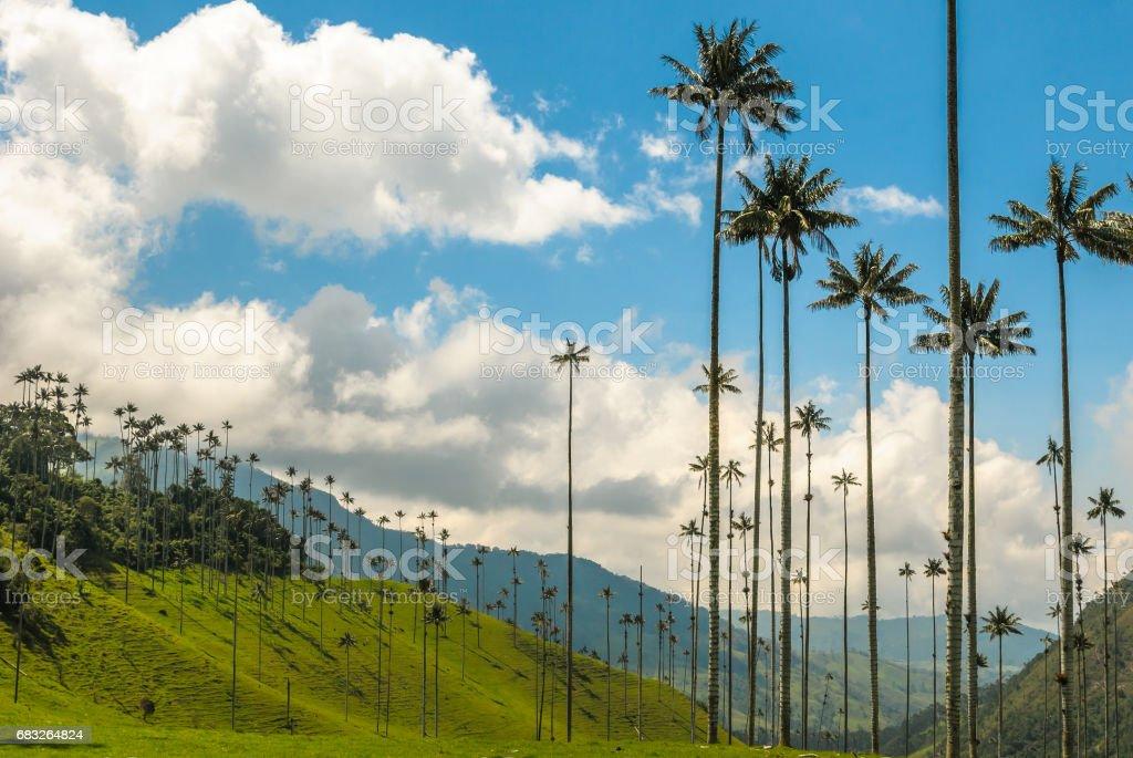 Cocora バレー、コロンビアのワックスのヤシの木 ロイヤリティフリーストックフォト