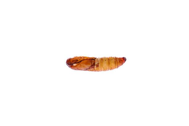 Wax worm isolated white background stock photo