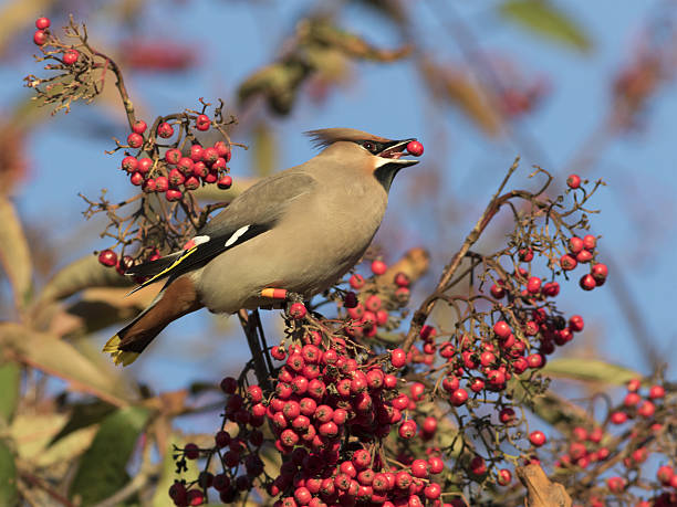 Waxwing (Bombycilla garrulus) eating a berry stock photo