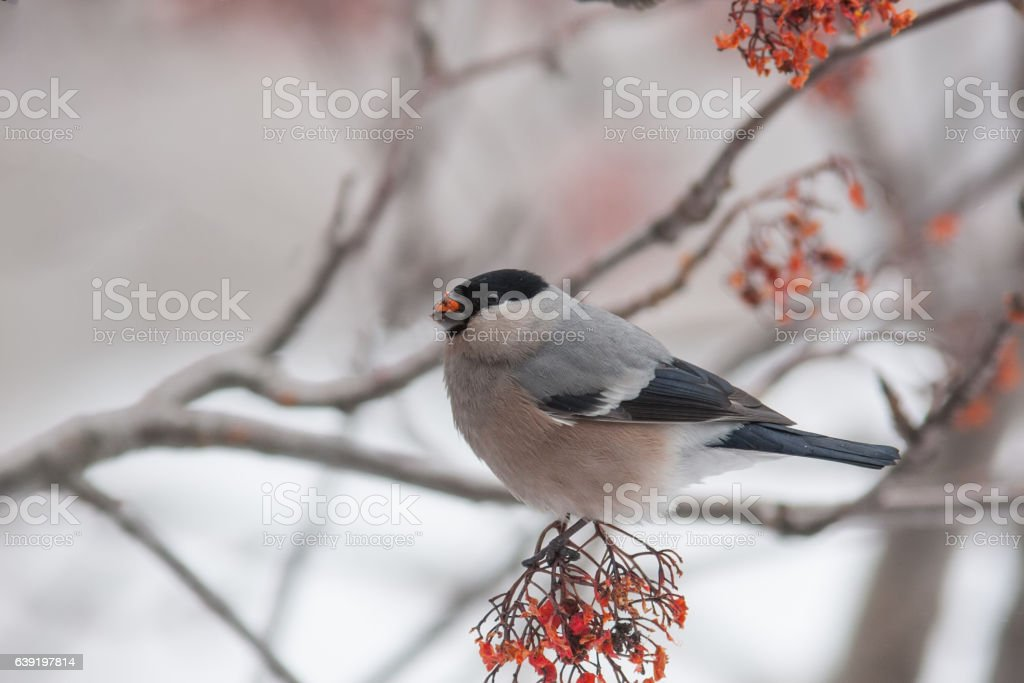 waxwing winter small bird stock photo
