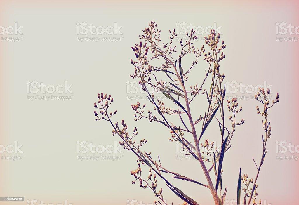 Wayside grass (Purple nut grass) retro style stock photo