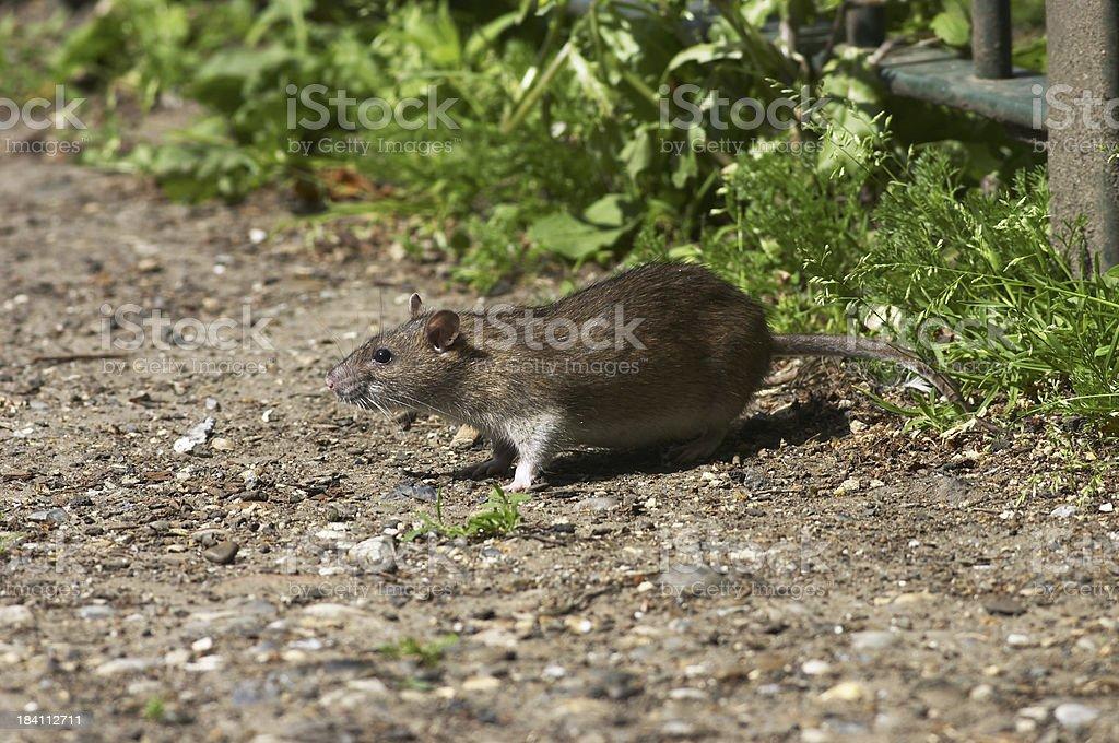 Fat Norway brown rat living on scraps Rattus norvegicus stock photo