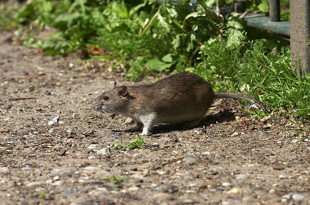 fat norway brown rat living on scraps rattus norvegicus - whiteway rat stock photos and pictures