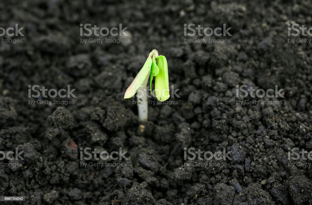 weak little green sprout breaks in the spring from under the black earth stock photo