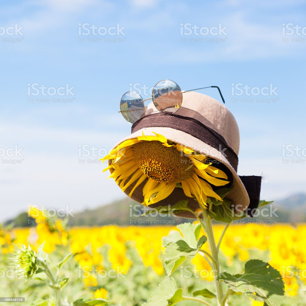 Wear a hat and sunglasses for sunflower. royalty-free stock photo