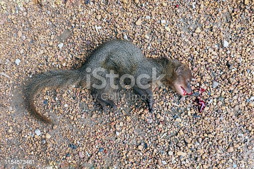 Weasel asia dead on the floor, Ferrets dead on the floor and red blood on mouth, Dead Animals Wildlife, Animal Species, Squirrels Chipmunks dead