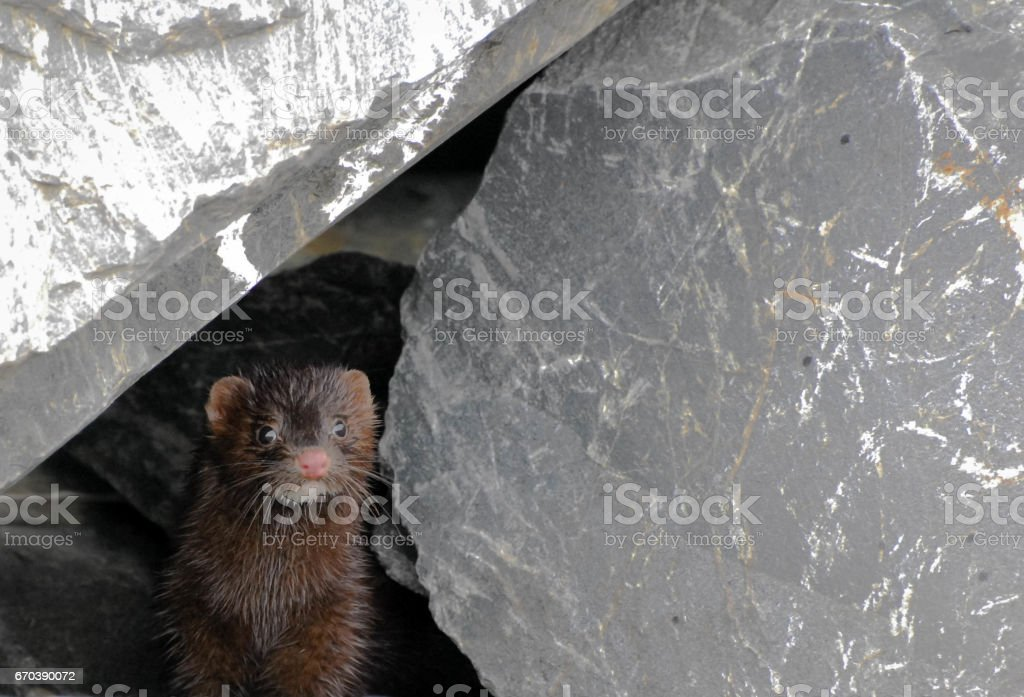 Weasel peering out from rocks stock photo