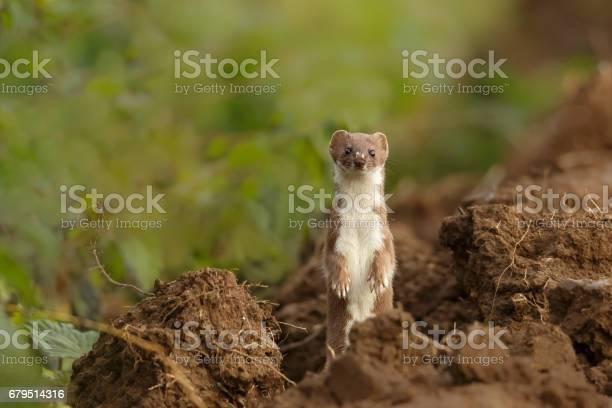 Weasel standing alert picture id679514316?b=1&k=6&m=679514316&s=612x612&h=pnjoholwbvolqljzxme31prkfh3tsd6j mci4tqzmp4=