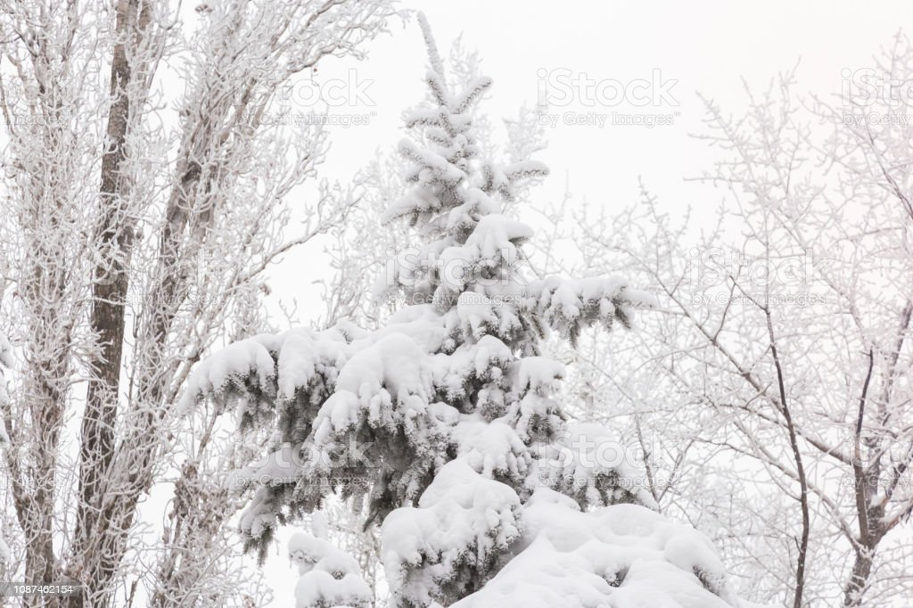 Weather, cold, winter in the forest. Tree branches and fir trees...