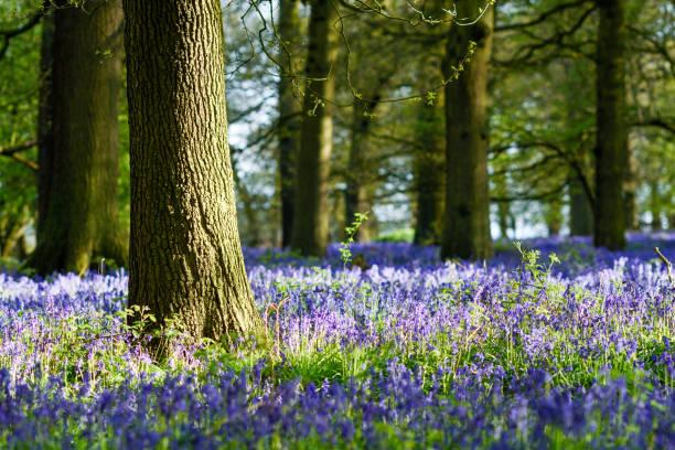 Großbritannien Wetter: Bluebell Wald in Nottinghamshire. – Foto