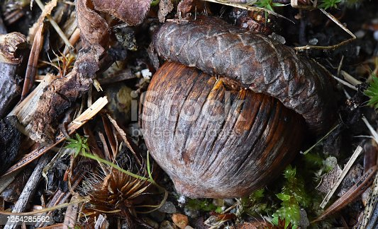 A very weathered acorn on the forest floor