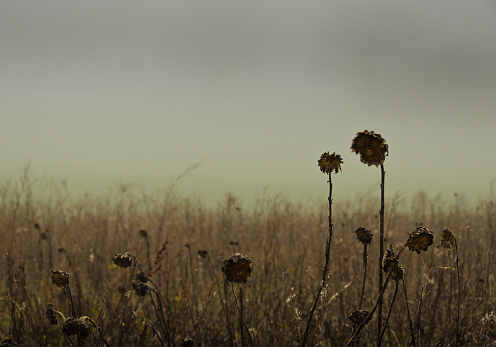 weathered and dried sunflowers on a field in winter, with foggy clouds in the background
