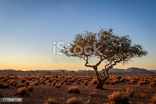 An old tree battles against the arid climate of the Northern Cape close to the Namibian border, a popular tourism area. A quiver tree forest in background.