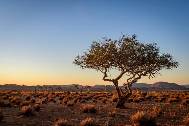 Verwitterter Wüstenbaum bei letztem Licht – Foto