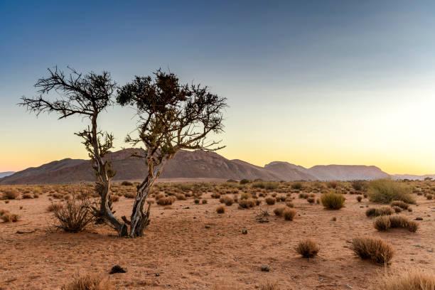 Verwitterter Wüstenbaum bei Sonnenaufgang – Foto