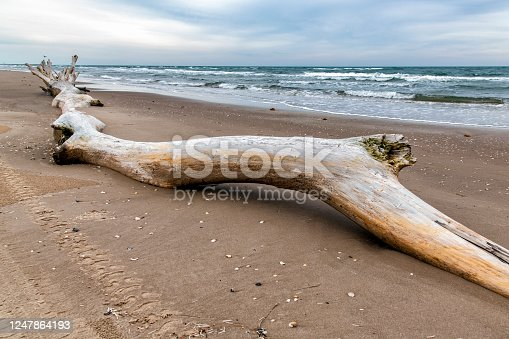 A large tree trunk washed onshore at South Padre Island, Texas.