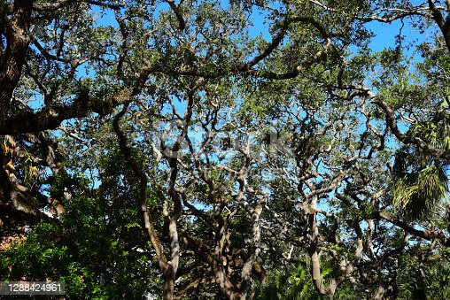 Coastal oak forest with low canopy and weathered, twisting branch structure.  Photo taken at St. Augustine, Florida. Nikon D750 with Nikon 28-80mm zoom lens