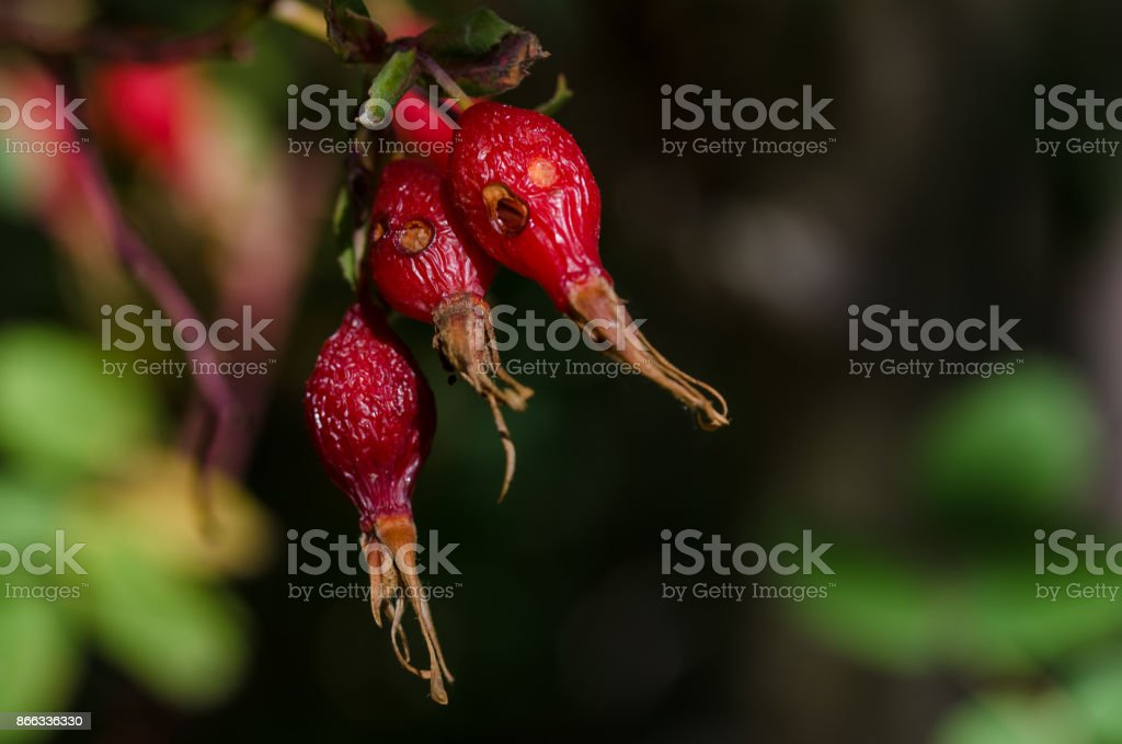 Weathered Red Berries of the Autumn Dog Rose Bush stock photo