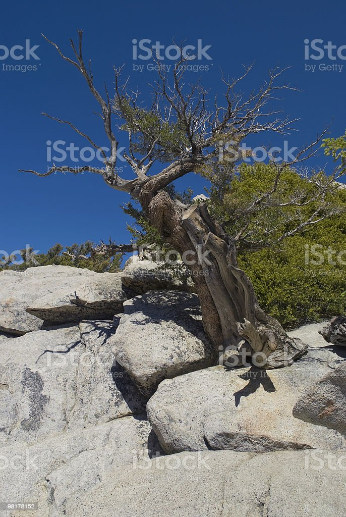 Weathered Tree San Jacinto royalty-free stock photo