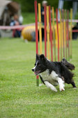 Border Collie exiting the weave poles obstacle