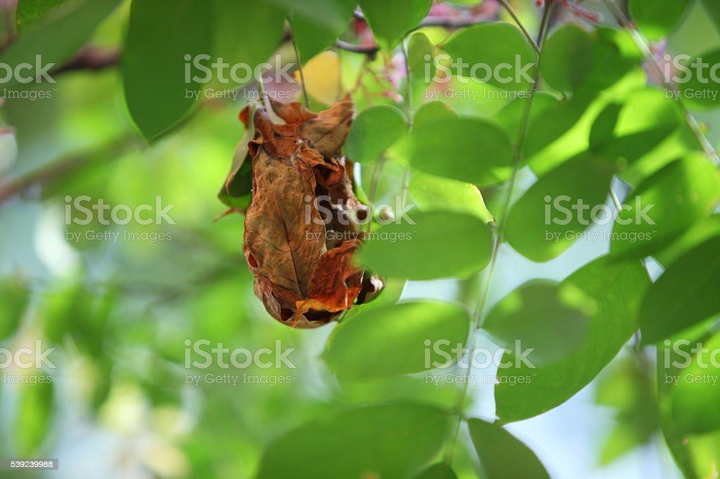 Hormiga tejedora nido en árbol foto de stock libre de derechos