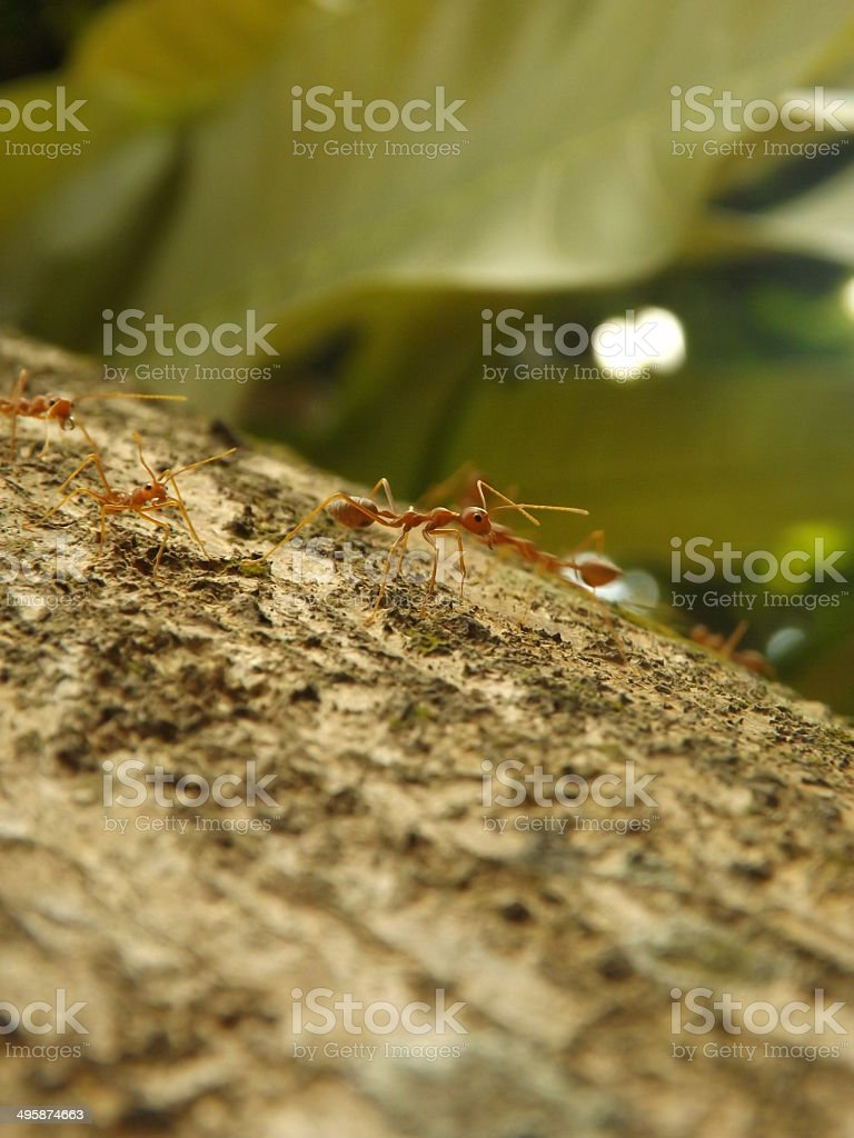 weaver ants royalty-free stock photo
