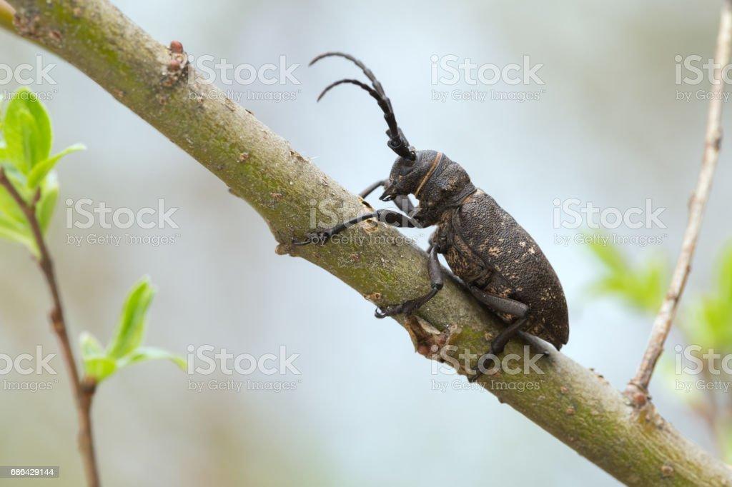 Weaver beetle, lamia textor on willow twig stock photo