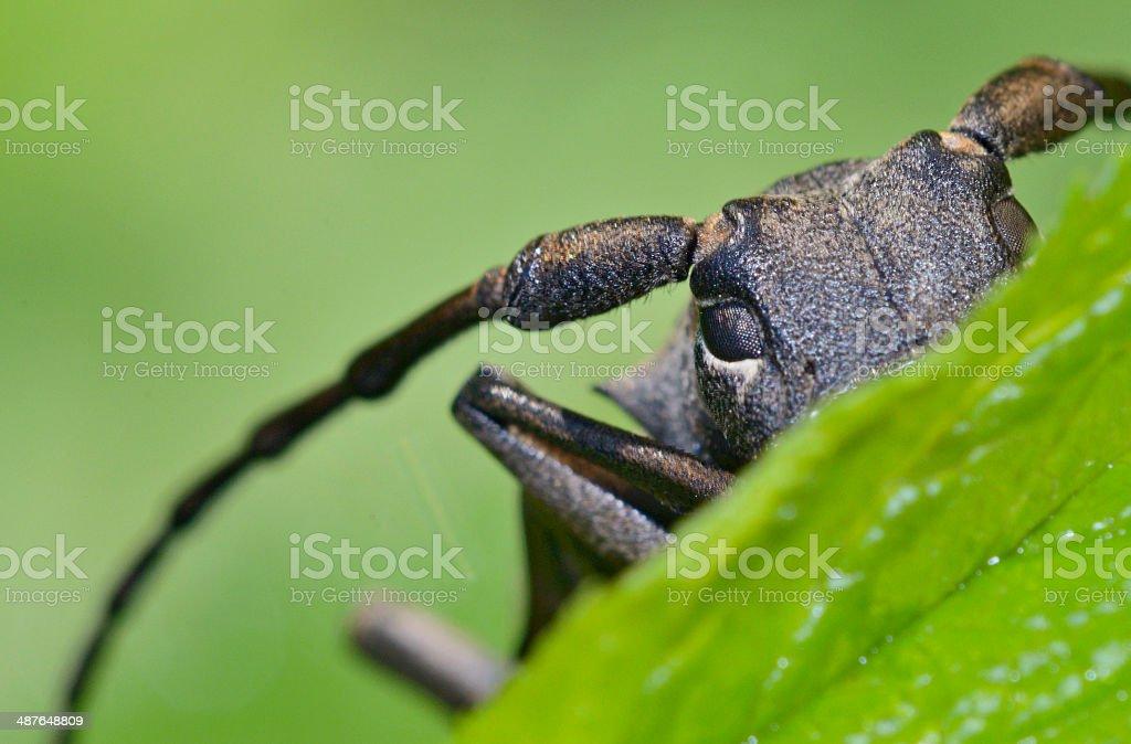 Weaver beetle (Lamia textor) stock photo