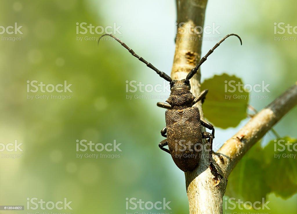 Weaver beetle stock photo
