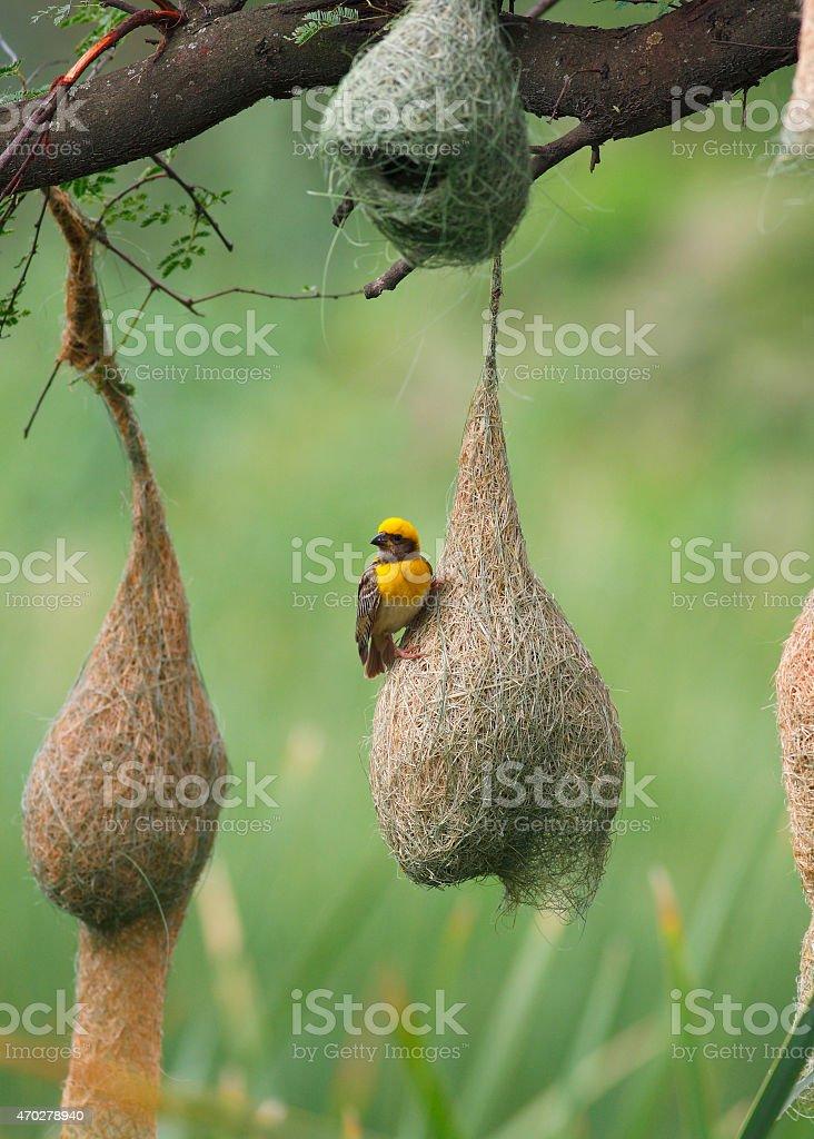 Weaver bird and nest stock photo