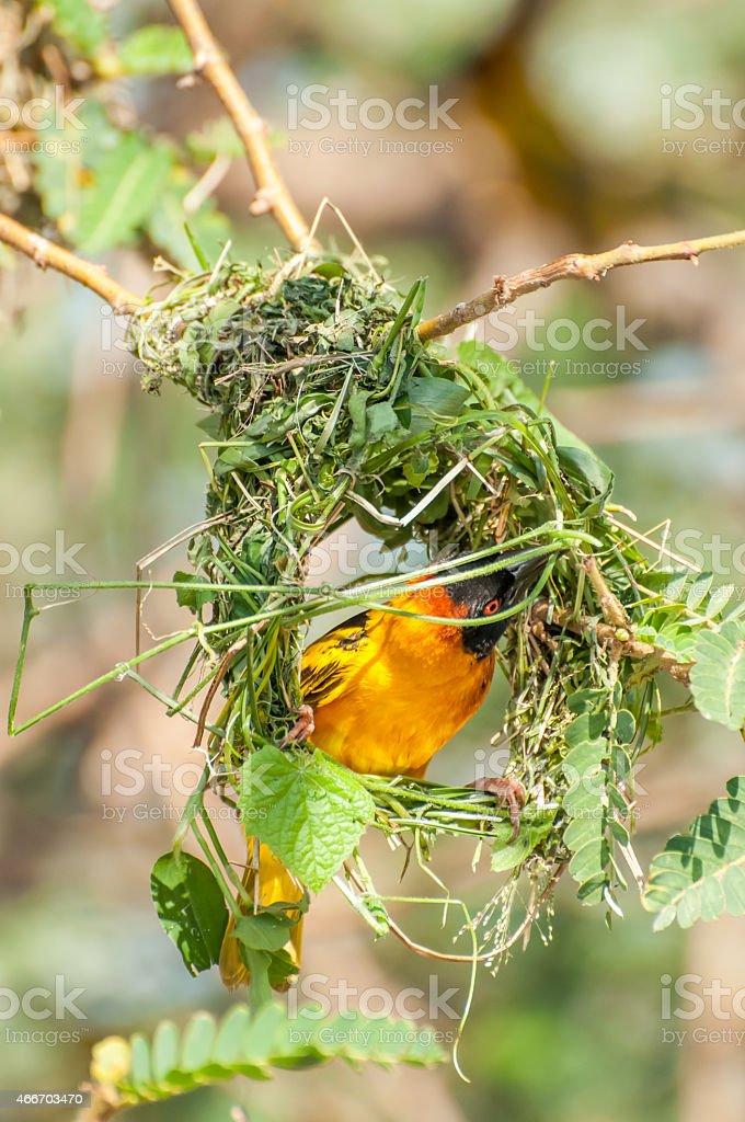 Weaver Bird Building Nest Stock Photo More Pictures Of 2015 Istock