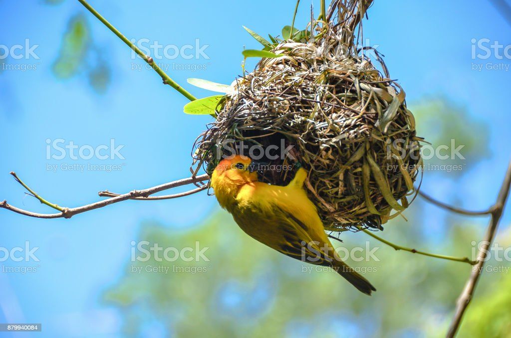 Weaver Bird Building Nest Stock Photo Download Image Now Istock