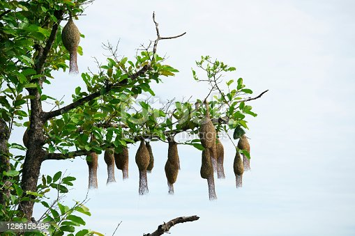 istock weaver bird nest hanging on tree 1286158495