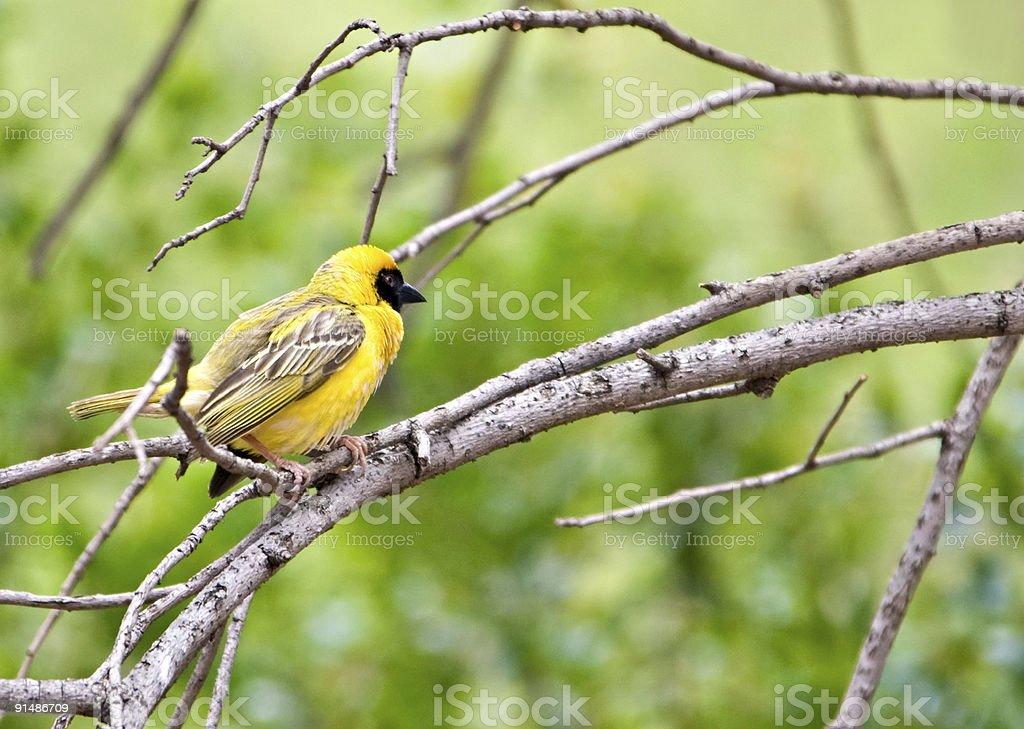 Weaver bird royalty-free stock photo