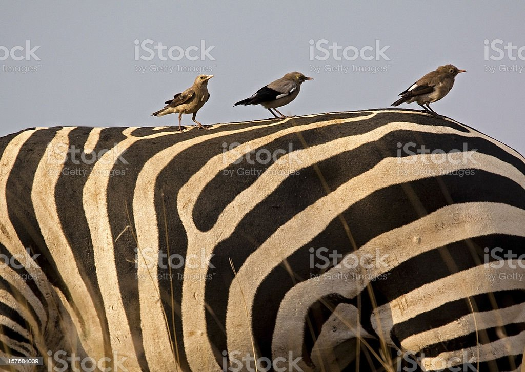 Weaver birds on zebra's back stock photo