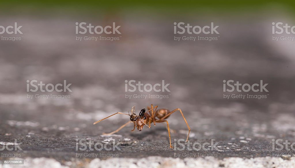 Weaver fighting with little black stinging ant. stock photo